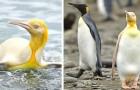 Un fotografo riesce a immortalare un rarissimo pinguino dal piumaggio giallo brillante