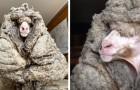 Ils sauvent un mouton piégé dans 30 kg de laine : il peut enfin voir et marcher