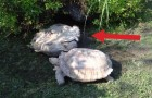 In this position, a turtle is sentenced to death ... but NOT this time !!