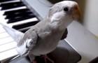Il suffit d'une base au piano et la perruche chante une mélodie surprenante
