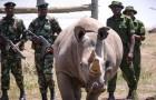 Les deux derniers rhinocéros blancs du Nord au monde ont une véritable équipe de gardes du corps