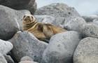Annunciano la chiusura per un mese di una strada trafficata per proteggere un leone marino e il suo cucciolo