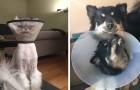 15 photos d'animaux qui ne semblent pas du tout heureux de porter une collerette