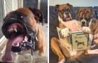 15 photos nous montrent à quel point les boxers peuvent être drôles et adorablement maladroits