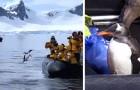 Un pinguino inseguito dalle orche si salva saltando su una barca: il video lascia col fiato sospeso