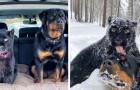 Une panthère abandonnée par sa mère grandit avec un Rottweiler : ils sont inséparables
