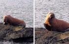 Un tricheco artico attraversa l'oceano e arriva in Irlanda: si era addormentato su un iceberg
