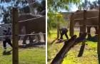 Un uomo porta la figlia nel recinto degli elefanti per un selfie e viene attaccato: il video è da brividi