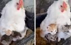 Eine Henne kümmert sich um drei neugeborene Kätzchen: Die Szene ist unendlich süß
