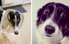 """""""Entschuldigung, ich tu's nicht wieder ..."""" 16 in flagranti erwischte Hunde, die nicht anders konnten, als sich schuldig zu fühlen"""