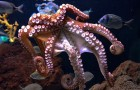 Kraken erleben sowohl körperlichen Schmerz als auch emotionales Leid: Studie enthüllt ihre