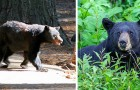 Una malattia sconosciuta sta rendendo gli orsi insolitamente amichevoli, e non è una cosa positiva