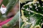 Cocciniglia nelle piante? Tienila lontana prima che sia troppo tardi con queste dritte utili