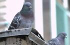 Trop de pigeons sur le balcon ou sur le rebord de la fenêtre ? Testez ces méthodes pour les éloigner