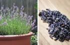 Lavanda: tutte le dritte per coltivare questa pianta profumatissima e amica delle api