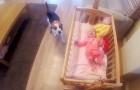 Miren que cosa hace este perro cuando siente llorar la neonata...