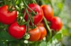 Pomodori: le dritte più utili per piantarli e avere un raccolto abbondante tutta l'estate