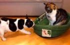 Cat steals the puppy's bed: he tries his best to claim it back but the ending is HILARIOUS !