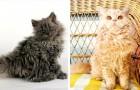 """""""Gatti barboncini"""": la nuova e adorabile razza di gatti a pelo riccio conquista il web"""