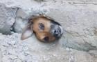 Cachorro curioso fica preso em um buraco na parede enquanto espiava os vizinhos: resgatado pelos bombeiros