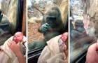 La mère gorille et la maman montrent leurs bébés à travers la vitre du zoo : la scène émouvante