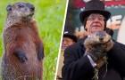 Aux États-Unis, il existe une marmotte qui peut