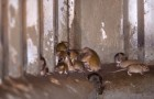 "L'Australia è invasa da decine di migliaia di topi: ""una piaga biblica senza precedenti"""