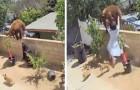 Meisje duwt een beer van de muur van het huis om het leven van haar honden te redden: een daad van groot heldendom