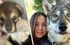 Adota um filhote de lobo que foi abandonado pela mãe: agora elas são inseparáveis