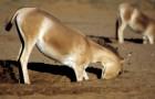 Onderzoekers ontdekken dat ezels en paarden gaten graven in de woestijn, die van vitaal belang zijn voor andere soorten