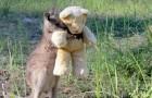 Verwaistes Känguru umarmt einen Teddybär ganz fest: So fühlt es sich weniger einsam