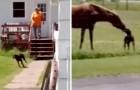 Cane scappa di casa con una carota in bocca e la dona al suo amico cavallo per fare merenda
