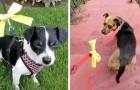 Als je een hond met een gele strik ziet, benader hem dan voorzichtig: het betekent dat hij zijn ruimte nodig heeft