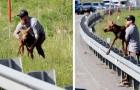 Aiuta un cucciolo di alce in difficoltà a superare il guardrail e a riunirsi con la mamma: