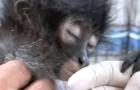 Ze vinden een gewonde aap: de X-ray onthult de wrede waarheid