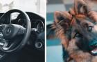 Der Besitzer steigt aus dem Auto aus und der Schäferhund schließt sich bei eingeschalteter Klimaanlage ein.