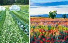 Autostrade di fiori al posto dei pesticidi: l'idea di agricoltori e ricercatori per proteggere i raccolti