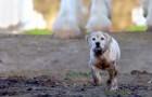Een puppy rent weg van huis ... zijn avontuur zal u emotioneren!