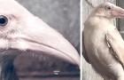 Zeldzame witte kraai met blauwe ogen gespot en gered omdat hij heeft moeten knokken voor zijn leven