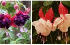 Piante di fucsia: scopri come coltivarle e mantenerle nel modo migliore