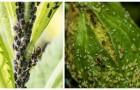 Piccoli insetti neri sulle piante? Prova a eliminarli con qualche rimedio fai-da-te