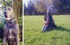 Het is een van de grootste Duitse Doggen ter wereld, maar hij is