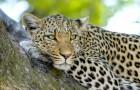 Fokker besluit de jaguar te beschermen ondanks constante aanvallen op zijn kudde koeien