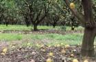 Agricoltore non trova nessuno disposto a raccogliere gli agrumi: perde un raccolto da 50 milioni di dollari