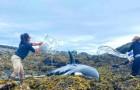 I volontari compiono un'operazione di salvataggio per liberare un'orca di 6 metri arenata sulle rocce