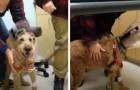 El perro ciego logra ver después de la cirugía: el video de su alegría incontenible