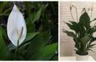 Spathiphyllum: découvrez comment cultiver cette belle plante d'intérieur capable de purifier l'air dans nos maisons