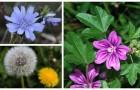 Les plantes comestibles qui sont bonnes pour la santé: à la découverte des espèces les plus communes qui se cachent dans les jardins