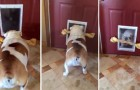 Este bulldog busca desafiar la ley de la fisica...encontrara la solucion?