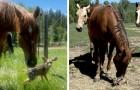 Un cerbiatto si perde mentre aspetta la mamma, dei cavalli lo vedono e lo proteggono durante l'attesa